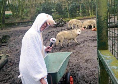 Daniel Danger als Schaf im Wolfsgehege